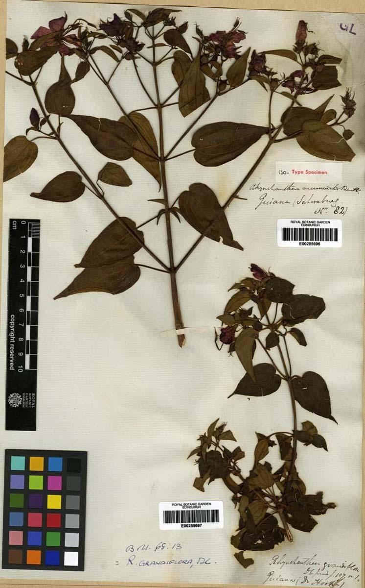 Rhynchanthera grandiflora (Coqueliot)