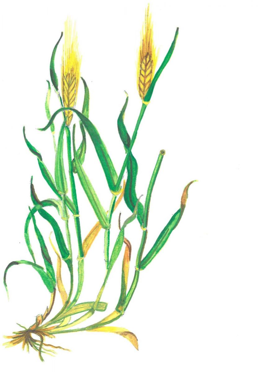 Six-row Barley (Hordeum vulgare, Alt. name, Bere Barley). Illustrated by Fenella Gabrysch