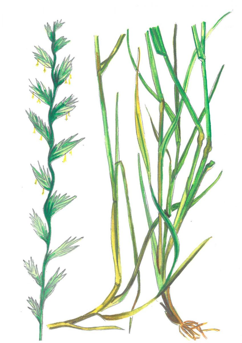 Ryegrass (Lolium perenne). Illustrated by Fenella Gabrysch