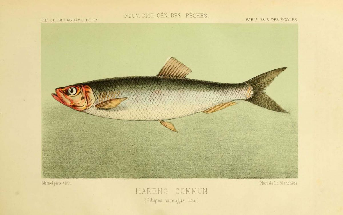 Print of an Atlantic Herring (Hareng commun) from La Pêche et les poissons, Paris, C. Delagrave, dated 1868. Biodiversity Heritage Library