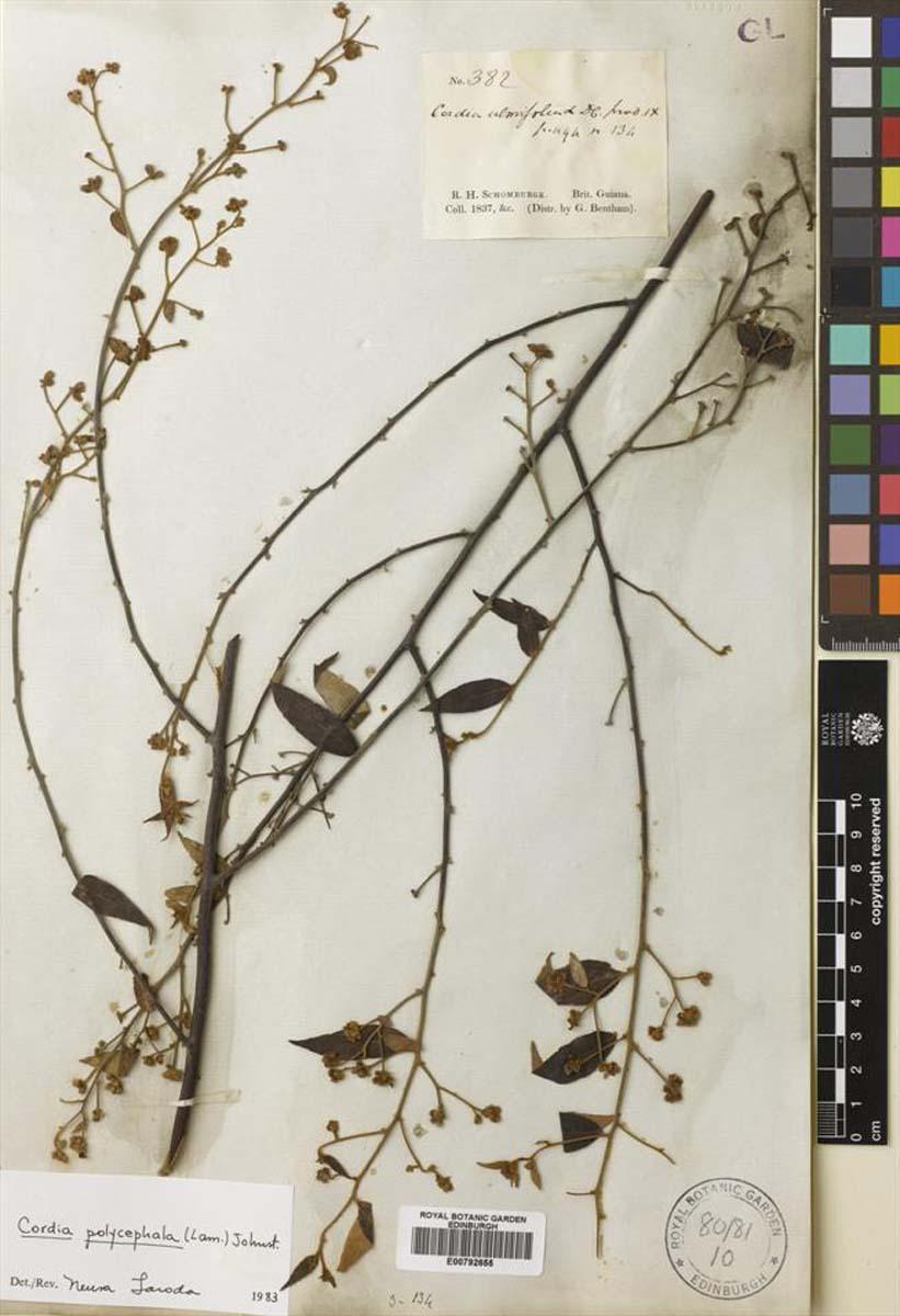 Cordia polycephala (Black Sage)
